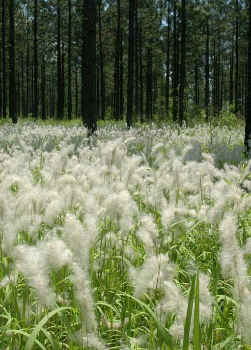 Blooming cogongrass encroaching on forest. Photo by Chris Evans, courtesy of Bugwood.org.